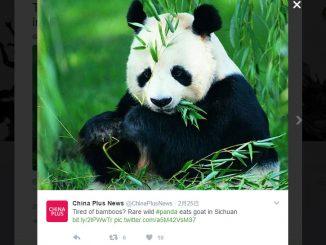 パンダ、ヤギを捕食する!?